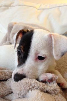 Jack Russell terrier puppy!