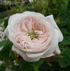 ~Full size picture of Centifolia, Damask Rose 'Madame Hardy' (<i>Rosa</i>)