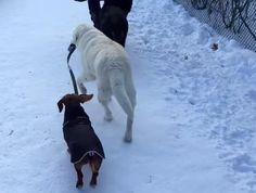 Older Dog Helps Out By Walking The Family Dachshund