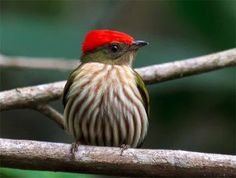 tangará-rajado_Machaeropterus regulus _Brazilian Birds