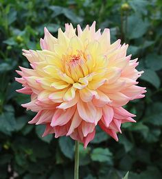 "Bubbling Over Dahlia (7"" bloom; 4' bush): informal decorative; pink and yellow."
