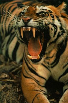 Answers any questions about Tiger Teeth - LONG 'n LARGE!!