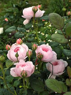 Queen of Sweden' | Shrub.  English Rose Collection. Austin 2004| @ Oliver                                                                                                                                                                                 More