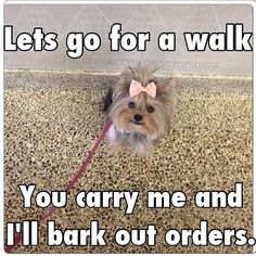 That's as usual! #dogs #pets #YorkshireTerriers Facebook.com/sodoggonefunny