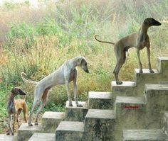 Caravan Hound Hound Breeds, Dog Breeds, Rare Breeds, Lurcher, Dog Names, Afghans, Caravan, Your Dog, Africa