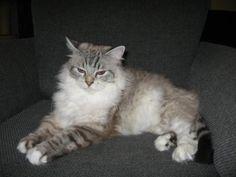 Hallo, ich bin Lissy. Ich bin 5 Jahre alt und suche ein neues Zuhause. Wir haben es 9 Mon miteinander versucht...leider vergeblich. Lissy fühlt sich nicht wohl bei uns. Sie kommt mit unseren Hunden nicht zurecht. Sie sucht zwar unsere Nähe, aber sobald die Hunde nahen ergreift sie die Flucht. Sie nutzt jede Gelegenheit um aus der Wohnung zu entkommen. Der jetzige Zustand ist unzumutbar für die Katze. Damit sie wieder zur Ruhe kommt und ganz Katze sein darf, suchen wir schnellstmöglich ein…