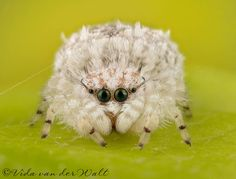 "Vida Van Der Walt May 29, 2014 ·  ·  ""Little Miracle""....... One of the most amazing little creatures I've ever photographed. She is a tiny 3 mm jumping spider from a (as yet to be described) genus from the subfamily Ballinae. My learned friend Galina Azarkina, the ball is in your court! ;-) To see more SA jumping spiders visit my website www.jumpingspiders.co.za"