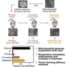 from: Genome Acquisition Restores Respiratory Function and Tumorigenic Potential of Cancer Cells without Mitochondrial DNA