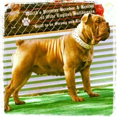 One of a Kind's Tootsie Pop Female Olde English Bulldogge with a beautiful light chocolate brindle coat.  www.OneofaKindBulldogs.com