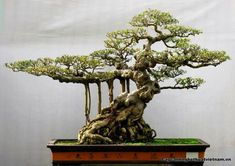 Bonsai, pretty amazing!