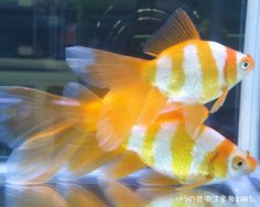 Goldfish - Tiger Yellow Comets