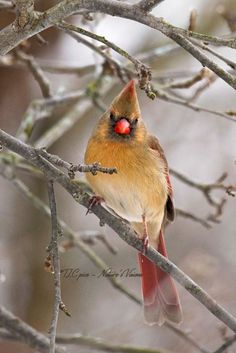 Song birds - Cardinal (Female) - by TLC pics, Nature's Vision