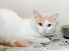 TC - ID#A463640 - URGENT - Harris County Animal Shelter in Houston, Texas - ADOPT OR FOSTER - 1 year old Neutered Male Turkish Van - at the shelter since Jul 11, 2016.