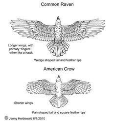 New Bird Wings Tattoo Crows Ravens Ideas Raven Tail, Raven Wings, Bird Wings, Crows Drawing, Wings Drawing, Diy Tattoo, Tattoo Ink, American Crow, Crow Bird