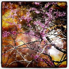 Red bud tree over the river at Aman Park   The Rapidian - one of my photos in a local photo contest celebrating Grand Rapids from a walk in a local park.