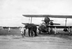 An elephant pulling a Supermarine Walrus aircraft into position at a Fleet Air Arm station in India, June 1944.