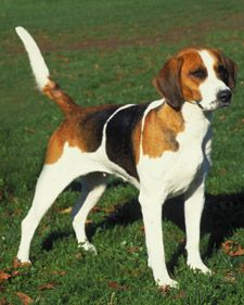 English Foxhound. Love these dogs - I've never met a grumpy foxhound (possibly because I'm not a fox but still...)