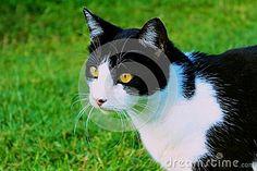 Domestic Shorthair Cat in lush green backyard lawn.