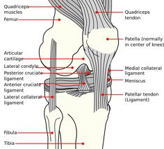 Knee diagram - Anterior cruciate ligament injury - Wikipedia, the free encyclopedia The Human Body, Anatomy Of The Knee, Knee Joint Anatomy, Knee Ligaments, Knee Swelling, Knee Osteoarthritis, Anterior Cruciate Ligament, Patellar Tendonitis Exercises, Med School