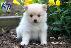 Dipper – Pomeranian Puppies for Sale in PA | Keystone Puppies