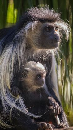 Angolan colobus monkey and 2-month-old baby. Photo by Darin Sugioka