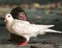 duif en aapje