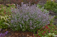 Nepeta 'Cats Meow' A much more refined Nepeta than older cultivars, 'Cat's Meow' forms a neatly compact, rounded mound of fragrant foliage with shoots of sky blue flowers on well-branched stems from early summer into early fall.