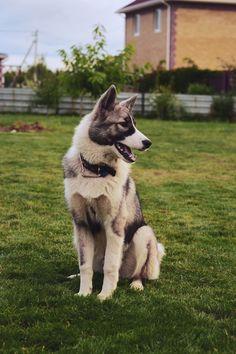 Akita/Siberian Husky Mix.   dogsandpupsdaily