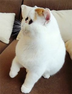 I want this cat so bad!! Does anyone know what breed it is??