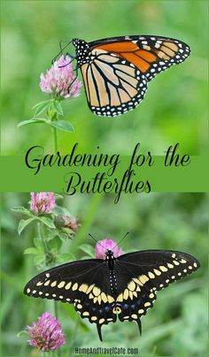 Gardening For the Butterflies~ Creating a butterfly garden can be so rewarding and a fun project for the family! Butterfly Weed, Butterflies, Monarch Butterfly, Desert Botanical Garden, Botanical Gardens, Organic Gardening, Gardening Tips, Flower Gardening, Milkweed Plant