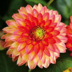 Bangkok Rose' Jeanne De Laval-delbard - 14 Nouveaux Dahlias Label ... Dahlien Tipps Pflanzen Pflegen