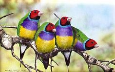 Lady Gouldian Finches (normals)