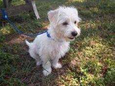 Ali MacRose is an adoptable West Highland White Terrier Westie Dog in Davie, FL. IMPORTANT