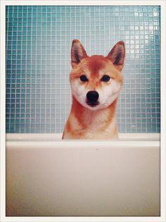 Shiba Inu! Love these dogs.