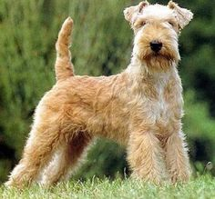 Lakeland Terriers - Google Search