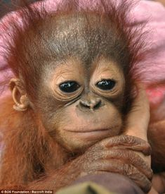 Sura, four months, was found wounded in Tumbang Koling, in Indonesian #Borneo, after a forest was cleared for a new oil palm plantation.