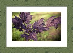 Actáea Cimicifúga Framed Print featuring the photograph Favorite Purple by Anna…
