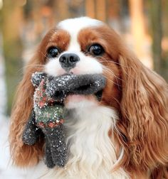 Found your glove Mom! - Cavalier King Charles Spaniel