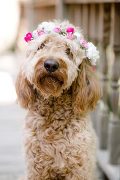 Goldendoodle- Wedding Dog-Whimsical Wedding in Crossville TN Dog Photography, Wedding Photography, Dog Wedding, Dress Wedding, Goldendoodles, Cavachon, Labradoodles, Cockapoo, Yorkshire Terrier Puppies