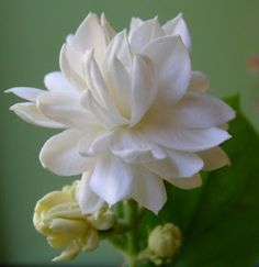 Jasmine Flower - Jasminum - is a genus of shrubs and vines in the olive family (Oleaceae). It contains around 200 species native to tropical and warm temperate regions of Europe, Asia, and Africa. Jasmines are widely cultivated for the characteristic fragrance of their flowers.