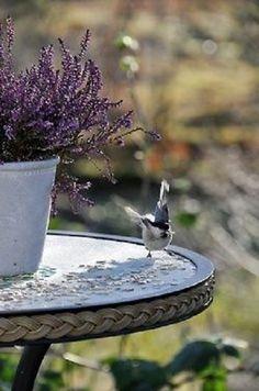 this is actually Heather, but its the colour of Lavender & its a pretty pic so. Lavender Cottage, French Lavender, Lavender Blue, Lavender Fields, Lavender Flowers, Lavander, Lavender Garden, Purple Flowers, Elsie De Wolfe