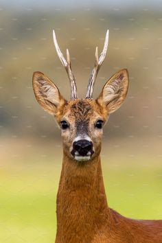 Portrait of a roe deer, capreolus capreolus, buck in summer with clear blurred background. Detail of rebuck head. Clouse-up of wild animal in natural Large Animals, Animals And Pets, Baby Animals, Cute Animals, Deer Photography, Wild Animals Photography, Deer Photos, Deer Pictures, Wild Animals Pictures