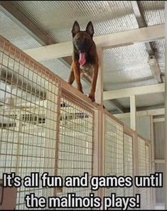reminded me it's Maligator Monday! Where are my Mals at? Berger Malinois, Belgian Malinois Puppies, Belgian Malinois Training, German Malinois, Military Working Dogs, Military Dogs, Police Dogs, Dutch Shepherd Dog, Belgian Shepherd