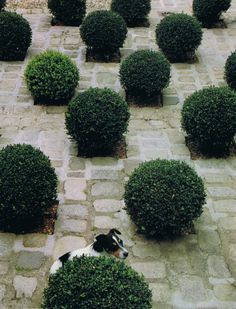 """""""In large quantities, in a kind of saturation of plants, each one becomes more valuable as part of a whole."""" En masse, clipped box globes in the entrance court are set on a diagonal among sandstone pavers."""