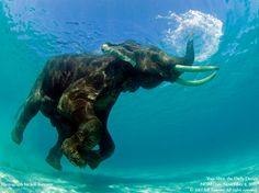 Asian Elephant Swimming - Havelock Island, India