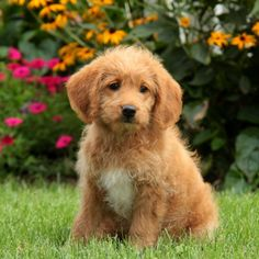 Bella - Labradoodle-Miniature Puppy For Sale in Pennsylvania Mini Labradoodle Puppy, Labradoodle Puppies For Sale, Miniature Australian Labradoodle, Pennsylvania, Dogs, Animals, Animales, Animaux, Pet Dogs