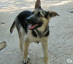 meravigliosa cucciola di pastore tedesco 4 mesi Milano - Adozione cani e gatti