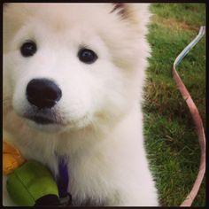 Skylar. My Samoyed puppy!