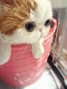 Exotic Shorthair Snoopy. I'm Fairly Certain That This Is The Cutest Cat Of All Time. - Click for More...