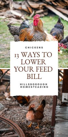 have become increasingly popular for both homesteaders and urban hobby farmers. However, as pigs with wings, the costs can add up quickly! To help lower your chicken feed cost, I've collected the 13 most creative ways I stretch our poultry budget! Heritage Chicken Breeds, Heritage Chickens, Raising Backyard Chickens, Keeping Chickens, Backyard Poultry, Organic Chicken Feed, Chicken Feed Diy, Chicken Scratch, Farms Living
